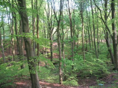 Tockholes-runnable_beech_wood